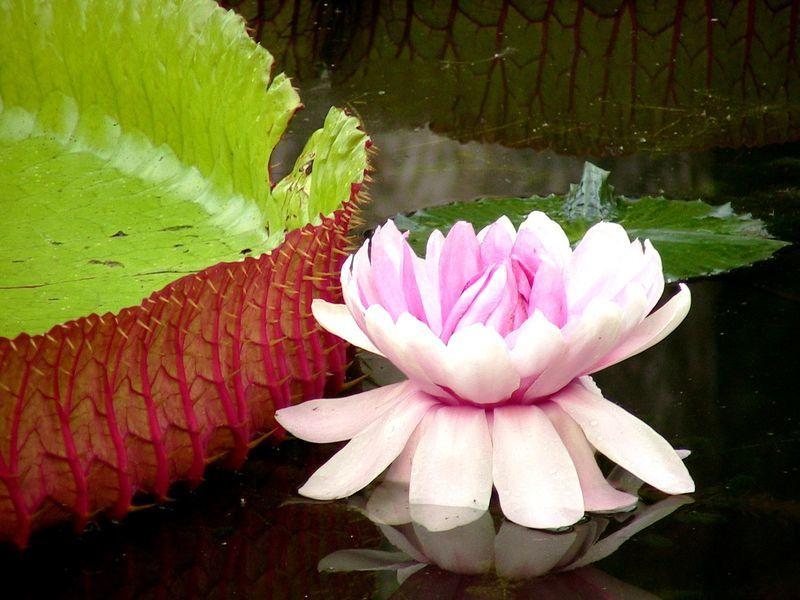 Fleur de lotus de nenuphar